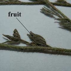 Fruits: Anchusa azurea. ~  ~ Copyright © 2021. ~