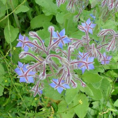 Flowers: Borago officinalis. ~ By Arthur Haines. ~ Copyright © 2020. ~ arthurhaines[at]wildblue.net