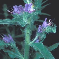Stems: Echium vulgare. ~ By Frank Bramley. ~ Copyright © 2021 New England Wild Flower Society. ~ Image Request, images[at]newenglandwild.org