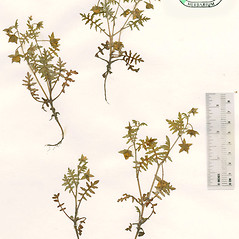 Plant form: Ellisia nyctelea. ~ By The Herbarium of The Morton Arboretum (MOR). ~ Copyright © 2020 The Morton Arboretum. ~ Ed Hedborn, The Morton Arboretum ~ The Herbarium of The Morton Arboretum