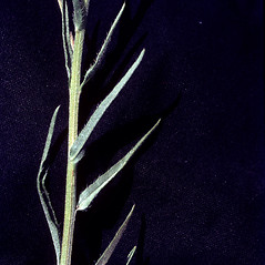 Leaves: Hackelia deflexa. ~ By T.F. Niehaus. ~ Copyright © 2020 Courtesy of the Smithsonian Institution . ~ For permission and usage agreements: http://botany.si.edu/PlantImages ~ Courtesy of Smithsonian Institution, National Museum of Natural History, Department of Botany, Plant Image Collection; botany.si.edu/PlantImages/