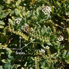 Fruits: Heliotropium curassavicum. ~ By Jean Pawek. ~ Copyright © 2021 Jean Pawek. ~ Requests for image use not currently accepted by copyright holder ~ CalPhotos - calphotos.berkeley.edu/flora/