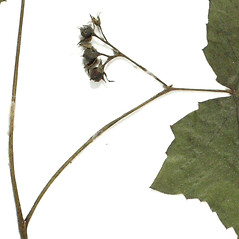 Fruits: Hydrophyllum canadense. ~ By Derick B. Poindexter. ~ Copyright © 2020 Derick B. Poindexter. ~ dpoindex[at]live.unc.edu ~ Vascular Flora of Alleghany County, NC - vascularflora.appstate.edu/