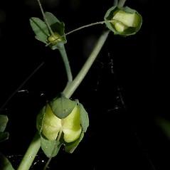 Fruits: Mertensia virginica. ~ By Keir Morse. ~ Copyright © 2021 Keir Morse. ~ www.keiriosity.com ~ www.keiriosity.com