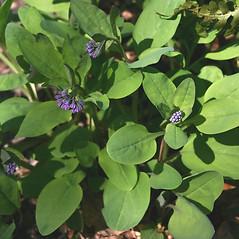 Leaves: Mertensia virginica. ~ By Mareike Conrad. ~ Copyright © 2021 Mareike Conrad. ~ mareike.conrad[at]googlemail.com