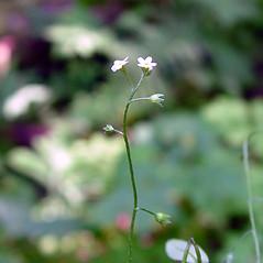 Flowers: Myosotis laxa. ~ By Arthur Haines. ~ Copyright © 2020. ~ arthurhaines[at]wildblue.net