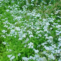 Plant form: Myosotis scorpioides. ~ By Glen Mittelhauser. ~ Copyright © 2020 Glen Mittelhauser. ~ www.mainenaturalhistory.org