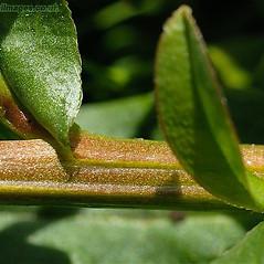 Stems: Myosotis scorpioides. ~ By John Crellin. ~ Copyright © 2021 © J.R. Crellin. ~ Floralimages www.floralimages.co.uk ~ Floral Images - www.floralimages.co.uk