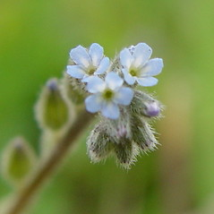 Flowers: Myosotis stricta. ~ By Arthur Haines. ~ Copyright © 2020. ~ arthurhaines[at]wildblue.net