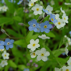 Flowers: Myosotis sylvatica. ~ By Arthur Haines. ~ Copyright © 2020. ~ arthurhaines[at]wildblue.net