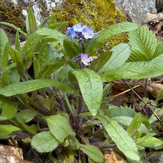 Leaves: Myosotis sylvatica. ~ By Chris Wood. ~ Copyright © 2020 Chris Wood. ~ No permission needed for non-commercial uses, with proper credit ~ U. of Washington - WTU - Herbarium - biology.burke.washington.edu/herbarium/imagecollection.php