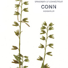Fruits: Myosotis verna. ~ By CONN Herbarium. ~ Copyright © 2021 CONN Herbarium. ~ Requests for image use not currently accepted by copyright holder ~ U. of Connecticut Herbarium - bgbaseserver.eeb.uconn.edu/