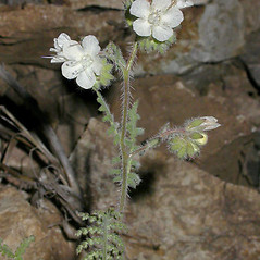 Plant form: Phacelia distans. ~ By Keir Morse. ~ Copyright © 2020 Keir Morse. ~ www.keiriosity.com ~ www.keiriosity.com