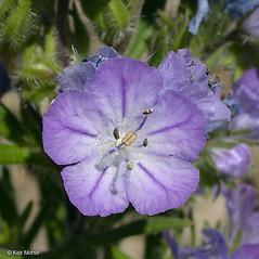 Flowers: Phacelia linearis. ~ By Keir Morse. ~ Copyright © 2020 Keir Morse. ~ www.keiriosity.com ~ www.keiriosity.com