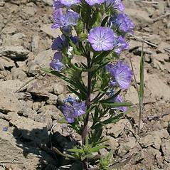 Plant form: Phacelia linearis. ~ By Keir Morse. ~ Copyright © 2020 Keir Morse. ~ www.keiriosity.com ~ www.keiriosity.com