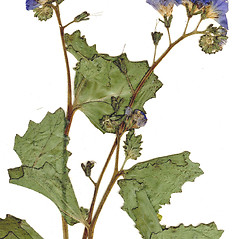 Flowers: Phacelia viscida. ~ By CONN Herbarium. ~ Copyright © 2019 CONN Herbarium. ~ Requests for image use not currently accepted by copyright holder ~ U. of Connecticut Herbarium - bgbaseserver.eeb.uconn.edu/