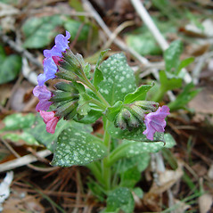 Plant form: Pulmonaria saccharata. ~ By Arthur Haines. ~ Copyright © 2019. ~ arthurhaines[at]wildblue.net
