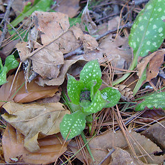 Leaves: Pulmonaria saccharata. ~ By Arthur Haines. ~ Copyright © 2020. ~ arthurhaines[at]wildblue.net