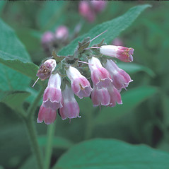 Flowers: Symphytum officinale. ~ By Frank Bramley. ~ Copyright © 2021 New England Wild Flower Society. ~ Image Request, images[at]newenglandwild.org
