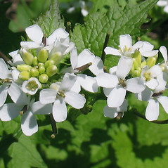 Flowers: Alliaria petiolata. ~ By Marilee Lovit. ~ Copyright © 2020 Marilee Lovit. ~ lovitm[at]gmail.com