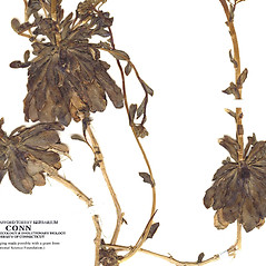 Leaves: Arabis procurrens. ~ By CONN Herbarium. ~ Copyright © 2021 CONN Herbarium. ~ Requests for image use not currently accepted by copyright holder ~ U. of Connecticut Herbarium - bgbaseserver.eeb.uconn.edu/