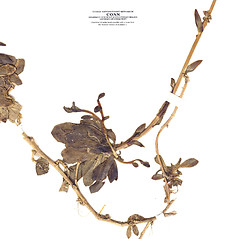 Stems: Arabis procurrens. ~ By CONN Herbarium. ~ Copyright © 2019 CONN Herbarium. ~ Requests for image use not currently accepted by copyright holder ~ U. of Connecticut Herbarium - bgbaseserver.eeb.uconn.edu/