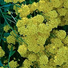Flowers: Aurinia saxatilis. ~ By Paul S. Drobot. ~ Copyright © 2021 Paul S. Drobot. ~ www.plantstogrow.com, www.plantstockphotos.com ~ Robert W. Freckmann Herbarium, U. of Wisconsin-Stevens Point
