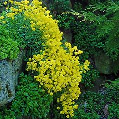Plant form: Aurinia saxatilis. ~ By Paul S. Drobot. ~ Copyright © 2020 Paul S. Drobot. ~ www.plantstogrow.com, www.plantstockphotos.com ~ Robert W. Freckmann Herbarium, U. of Wisconsin-Stevens Point
