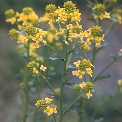 Flowers: Barbarea vulgaris. ~ By Adelaide Pratt. ~ Copyright © 2019 New England Wild Flower Society. ~ Image Request, images[at]newenglandwild.org