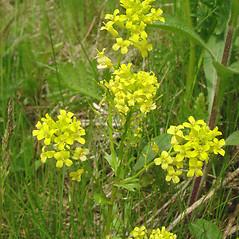 Flowers: Barbarea vulgaris. ~ By Glen Mittelhauser. ~ Copyright © 2020 Glen Mittelhauser. ~ www.mainenaturalhistory.org