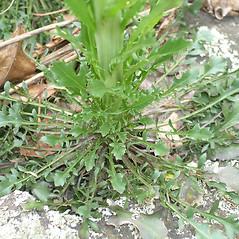 Leaves: Boechera missouriensis. ~ By Bruce Patterson. ~ Copyright © 2020 Bruce Patterson. ~ foxpatterson[at]comcast.net