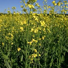 Flowers: Brassica napus. ~ By Steve Garske. ~ Copyright © 2021 Steve Garske. ~ asimina[at]alphacomm.net