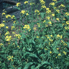 Plant form: Brassica napus. ~ By Robert Freckmann. ~ Copyright © 2021 Robert Freckmann. ~ rfreckma[at]uwsp.edu ~ Robert W. Freckmann Herbarium, U. of Wisconsin-Stevens Point