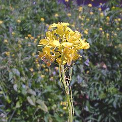 Flowers: Brassica nigra. ~ By Arthur Haines. ~ Copyright © 2021. ~ arthurhaines[at]wildblue.net
