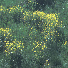 Plant form: Brassica nigra. ~ By Albert Bussewitz. ~ Copyright © 2020 New England Wild Flower Society. ~ Image Request, images[at]newenglandwild.org