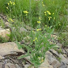 Plant form: Brassica rapa. ~ By Glen Mittelhauser. ~ Copyright © 2019 Glen Mittelhauser. ~ www.mainenaturalhistory.org