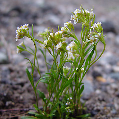 Plant form: Braya humilis. ~ By Arthur Haines. ~ Copyright © 2020. ~ arthurhaines[at]wildblue.net