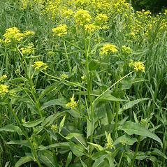 Plant form: Bunias orientalis. ~ By Mark Renz. ~ Copyright © 2021 Mark Renz. ~ mrenz[at]wisc.edu ~ Robert W. Freckmann Herbarium, U. of Wisconsin-Stevens Point
