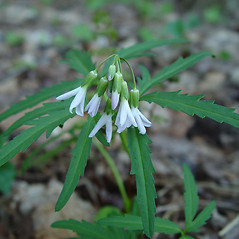 Flowers: Cardamine concatenata. ~ By Arthur Haines. ~ Copyright © 2021. ~ arthurhaines[at]wildblue.net