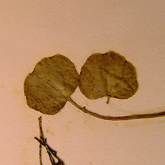 Leaves: Cardamine dentata. ~ By Arthur Haines. ~ Copyright © 2020. ~ arthurhaines[at]wildblue.net