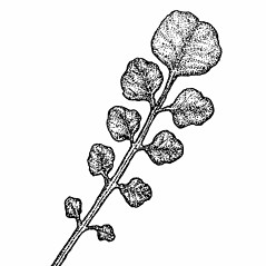 Leaves: Cardamine dentata. ~ By Elizabeth Farnsworth. ~ Copyright © 2020 New England Wild Flower Society. ~ Image Request, images[at]newenglandwild.org
