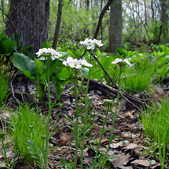 Flowers: Cardamine pratensis. ~ By Arthur Haines. ~ Copyright © 2021. ~ arthurhaines[at]wildblue.net