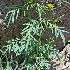 Plant form: Descurainia pinnata. ~ By Robert L. Carr. ~ Copyright © 2021. ~ CheneyBobLin[at]aol.com ~ Oregon Flora Image Project - www.botany.hawaii.edu/faculty/carr/ofp/ofp_index.htm