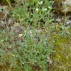 Plant form: Draba arabisans. ~ By Arthur Haines. ~ Copyright © 2020. ~ arthurhaines[at]wildblue.net