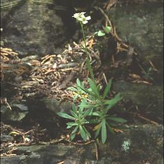 Plant form: Draba arabisans. ~ By Arieh Tal. ~ Copyright © 2021 Arieh Tal. ~ http://botphoto.com/ ~ Arieh Tal - botphoto.com