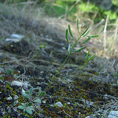 Plant form: Draba reptans. ~ By Arthur Haines. ~ Copyright © 2020. ~ arthurhaines[at]wildblue.net
