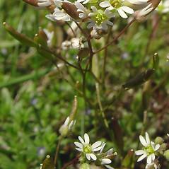 Flowers: Draba verna. ~ By Glen Mittelhauser. ~ Copyright © 2021 Glen Mittelhauser. ~ www.mainenaturalhistory.org