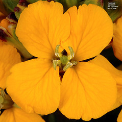 Flowers: Erysimum capitatum. ~ By Gerry Carr. ~ Copyright © 2020 Gerry Carr. ~ gdcarr[at]comcast.net ~ Oregon Flora Image Project - www.botany.hawaii.edu/faculty/carr/ofp/ofp_index.htm