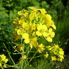 Flowers: Erysimum inconspicuum. ~ By Ian Cumming. ~ Copyright © 2020 Ian Cumming. ~ ianc[at]ece.ubc.ca ~ E-Flora BC - www.geog.ubc.ca/biodiversity/eflora/