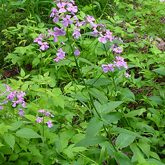 Plant form: Hesperis matronalis. ~ By Arthur Haines. ~ Copyright © 2021. ~ arthurhaines[at]wildblue.net